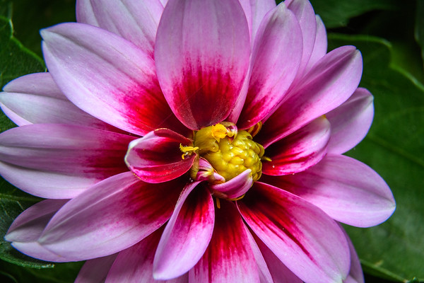 Dalia Flower using extension tubes
