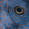 Pufferfish Eye