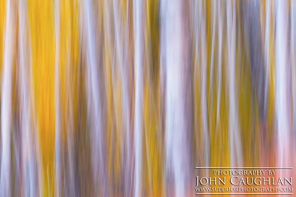 Birch(fall26u)