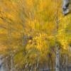Aspen Tree Abstract, Tetons, Wyoming