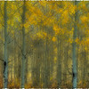 Aspens in the Fall, Wyoming