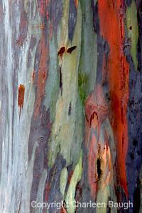Australian Eucalyptus Tree  Trunk