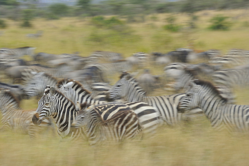 Zebras on the Serengeti, Tanzania, East Africa