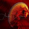 Crinoid