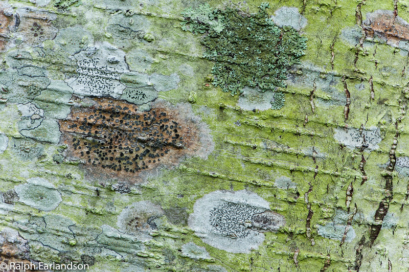 Patterns of lichens and bark on a Jaul tree on the grounds of Bougainvillea Hotel, San Jose, Costa Rica.
