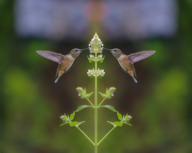 Garden Hummingbird Mirrored