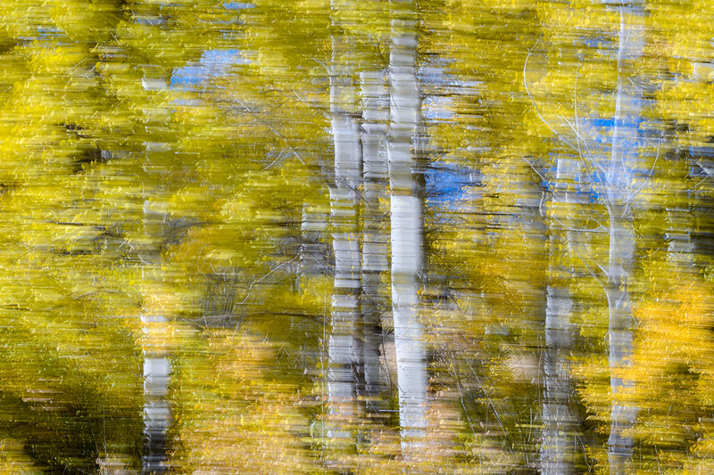 Fall aspen trees abstract, Grand Teton National Park, Wyoming