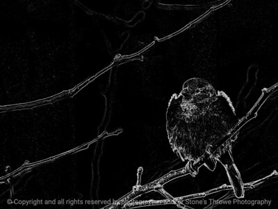 bird_sparrow-wdsm-20dec15-12x09-212-bw-6182