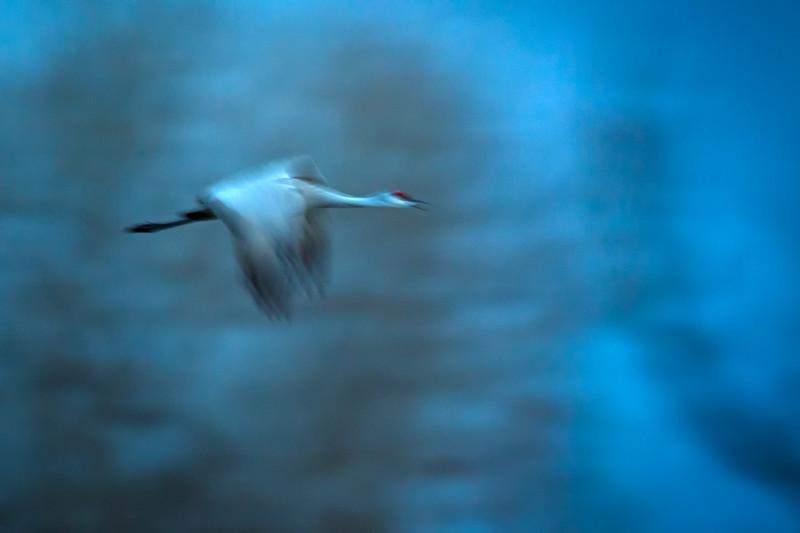 Sandhill Crane in flight (slow shutter speed) over the Platte River, Nebraska