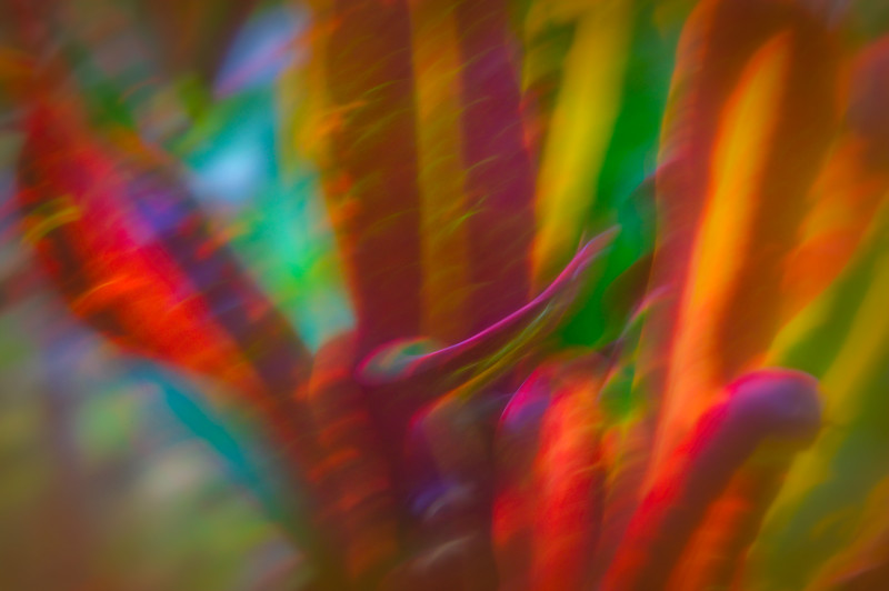 Abstract of the gold, red, orange, green and pink foliage of the Croton plant