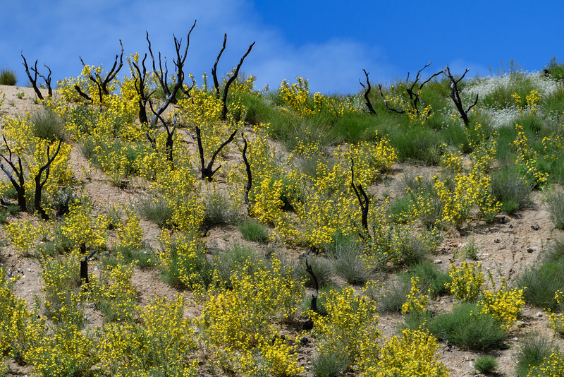 Wildflowers and burnt trees, California