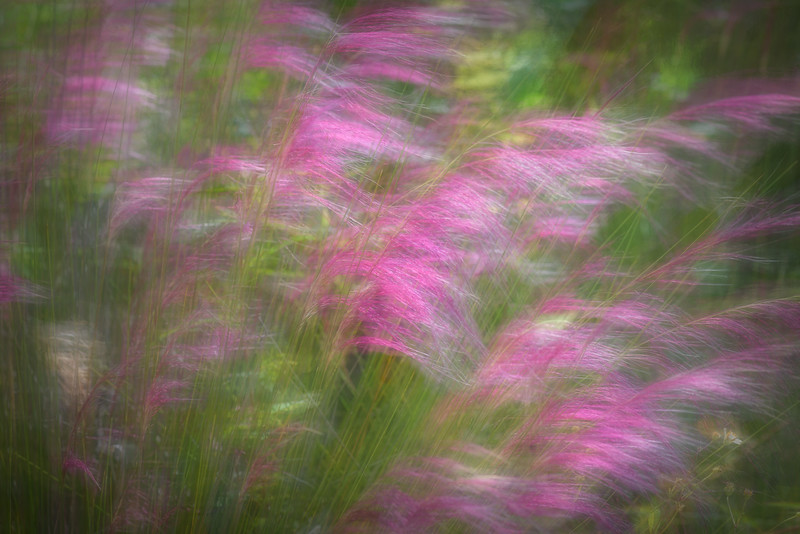 Purple and pink grasses blowing in the breeze near Naples, Florida