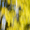 Fall leaves on aspen tree abstract, Grand Teton National Park, Wyoming