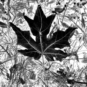 015-leaf-wdsm-24nov17-09x09-206-350-bw-2927