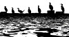 Cormorants Watching, available on20x30 standout