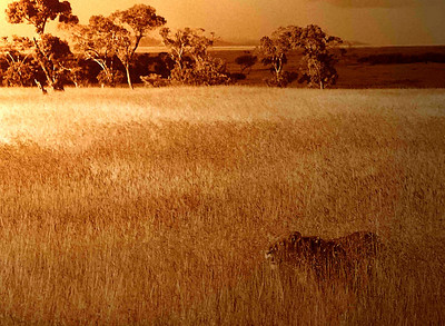 Lion in Golden Field