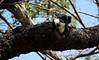 capuchin 3