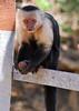 Capuchin Monkey 2 P V