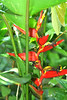 Heliconia M