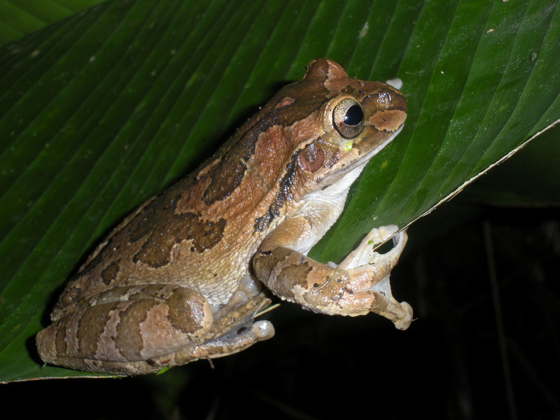 Common Mexican Tree Frog L S