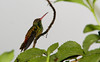 Rufous Tailed Hummingbird L S