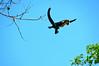 Capuchin Jump2-PV