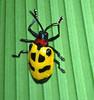 beetle sp