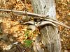 acacia ants 2