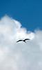 Magnificent Frigatebird-C