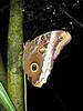 Owl Butterfly L S