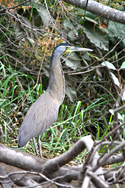Bare Throated Tiger Heron P V