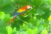 Macaw1-C