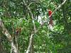 Costa Rica 2010 Corcovado Scarlet Macaw (5)