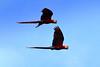 Scarlet Macaws C