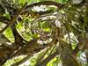 Fig Tree M