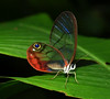 Glass Winged Butterfly L S