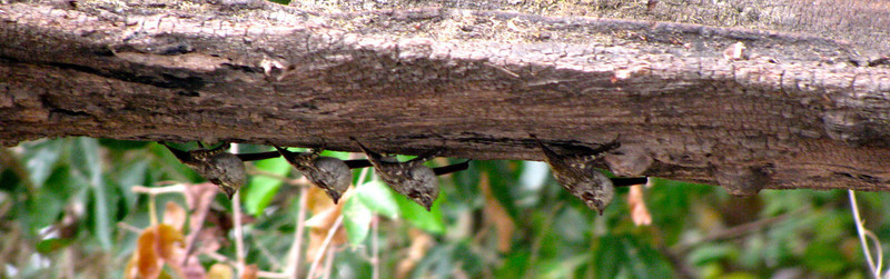 Long Nosed Bats2-PV