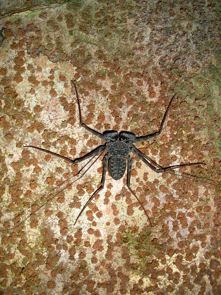 Tailless Whip Scorpion C