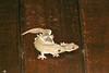 geckos mating