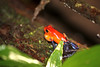 Strawberry Poison Dart Frog L S