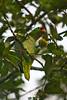 Red Lored Parrot L S