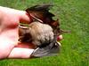 Dead Bat1-C