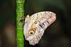 caligo butterfly LS