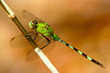 Green Dragonfly P V
