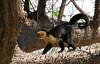 Costa Rica 2010 Palo Verde Capuchins (13)