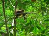 Spider Monkey-C