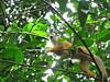 Costa Rica 2010 Corcovado squirell monke