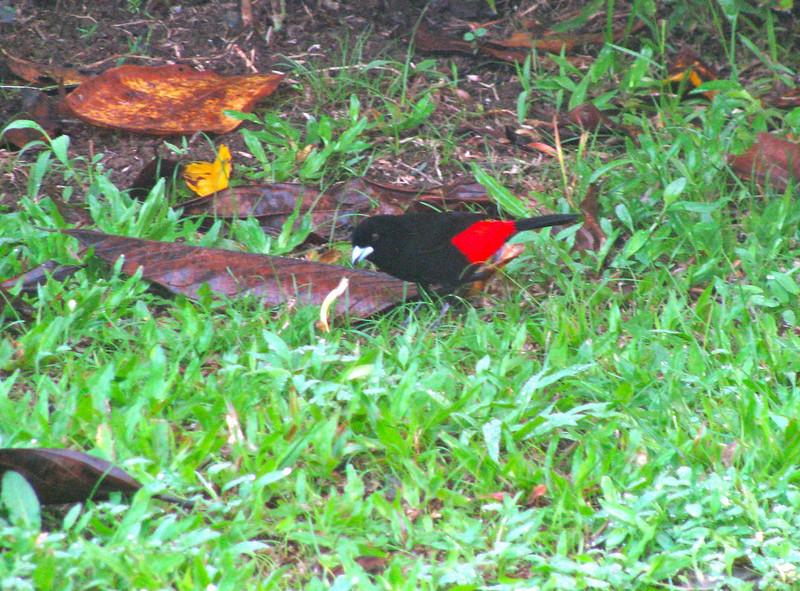 Costa Rica 2010 Le Selva Cherrie's tananger (2)