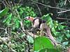 Costa Rica 2010 Corcovado Anteater