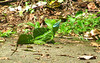 Costa Rica 2010 Le Selva Basilisk